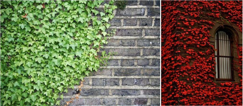 Plantas id neas para decorar fachadas kahla paisajismo for Fachadas con plantas trepadoras